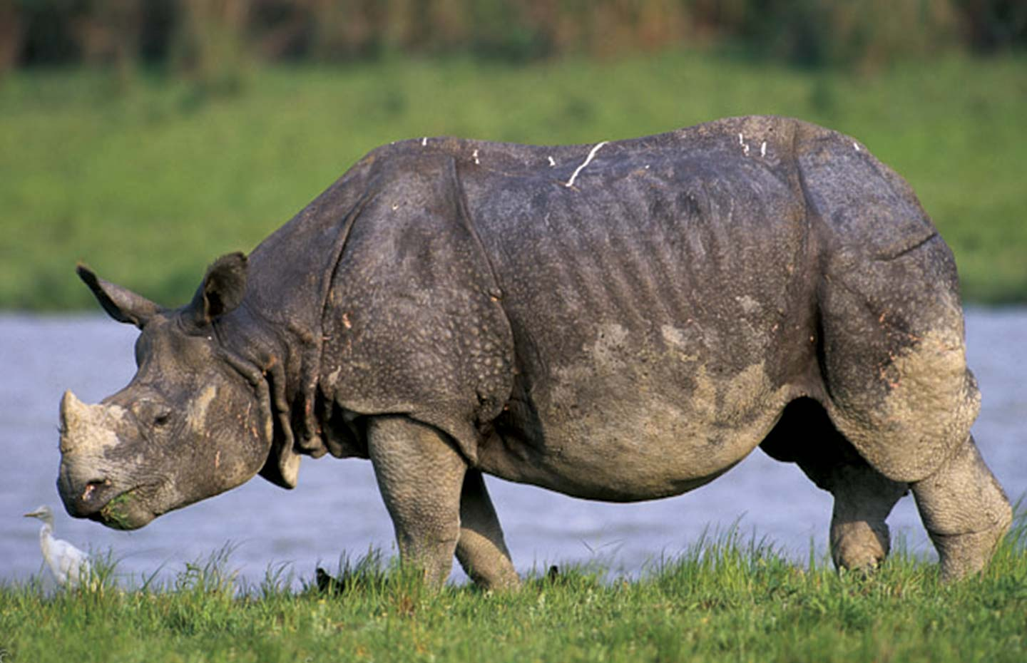 Indian one horned rhinoceros