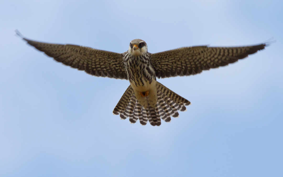 Travel Inn do our bit to save the Amur Falcon